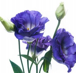 lisianthus-misty-blue